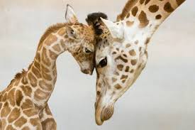 festa della mamma bioparco roma giraffe