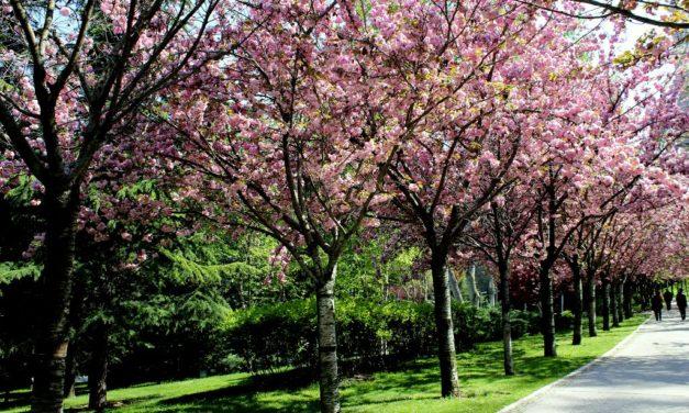 Week-end primaverile variegato al ciliegio!