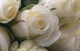 rose bianche significato regalare fiori