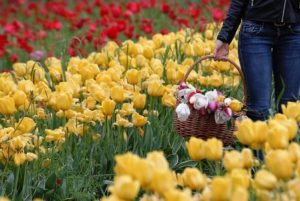 Tulipark roma campo tulipani via dei gordiani orizz