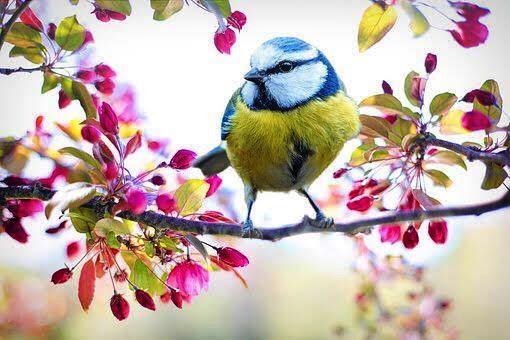 primavera immagini cinciallegra