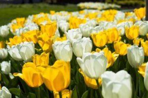 tulipark tulipani roma gialli